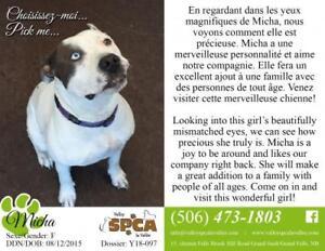 "Adult Female Dog - Pit Bull Terrier: ""Micha"""