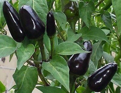 For sale BLACK DEVIL CHILLI - BANGLADESHI BLACK-Shurma chilli - 10 FINEST SEEDS