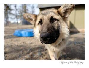 """Young Male Dog - Shepherd: """"S.Thomas (in foster care)"""""""