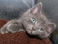 "Baby Male Cat - Domestic Short Hair: ""Olaf"""