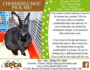 """Young Female Rabbit - New Zealand: """"Coco"""""""