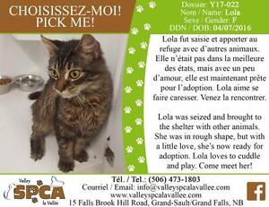"Young Female Cat - Domestic Medium Hair: ""Lola"""