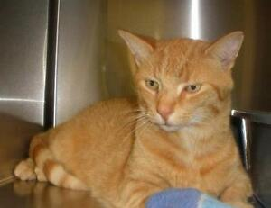 "Adult Male Cat - Domestic Short Hair: ""Gerry 16 (Alma)"""