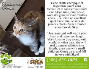 "Young Female Cat - Domestic Short Hair: ""Skye"""