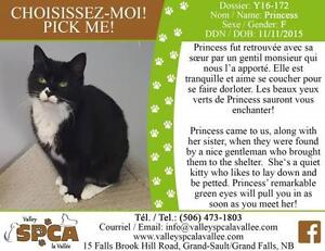 "Adult Female Cat - Domestic Short Hair: ""Princess"""