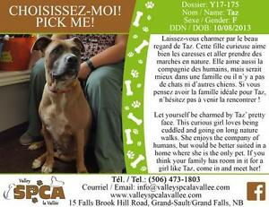 "Adult Female Dog - Pit Bull Terrier: ""Taz"""