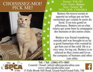 """Adult Male Cat - Domestic Short Hair: """"Butters"""""""