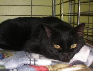 "Adult Female Cat - Domestic Short Hair: ""Miss B 16 (PN 382)"""