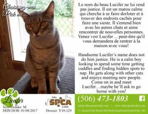 "Young Male Cat - Domestic Short Hair: ""Lucifer"""