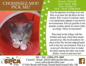 "Adult Female Cat - Domestic Short Hair: ""Elsa"""