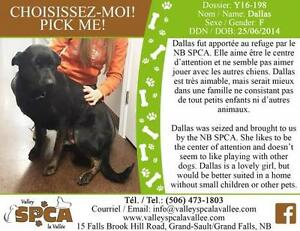 "Adult Female Dog - Labrador Retriever: ""Dallas"""