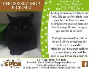"Adult Female Cat - Domestic Short Hair: ""Midnight"""
