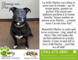 "Adult Female Dog - Pit Bull Terrier-Labrador Retriever: ""Harley"""