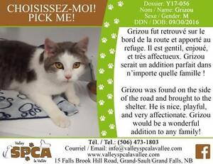 "Young Male Cat - Domestic Short Hair - gray and white: ""Grizou"""