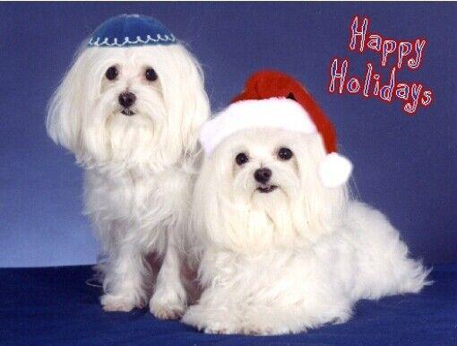 Pet Interfaith Christmas & Hanukkah Cards:Dog Maltese