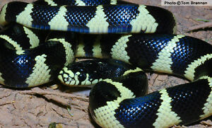 Baby Banded King Snakes