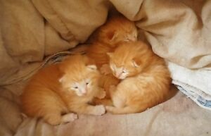 ORANGE TABBY KITTENS  Mother Siamese VET SHOTS Health Check