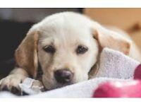 Labrador boy puppy