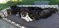 German Shepherd x Husky/Collie Puppies