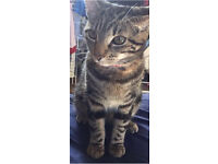 1 year old female tabby cat for permanent home