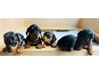 Stunning miniature daschund pups from family pet ***only 1 left due to timewaters***