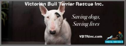 FOSTER CARERS NEEDED - VICTORIAN BULL TERRIER RESCUE (VBTR)