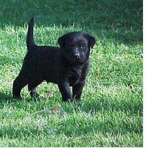 Magnificent Black Labrador Puppies. Excellent Bloodlines. Male. Forbes Forbes Area Preview