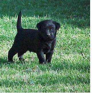 Labrador Puppies. Pure Bred. Black or Gold Females