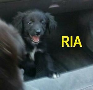 """Young Female Dog - Terrier-Border Collie: """"Ria"""""""