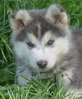 Beautiful Sib Husky babies