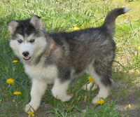 Beautiful Sib Husky babies