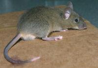 MULOT, RAT, SOURIS - EXTERMINATEURS - EXTERMINATION