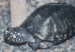 Looking for indian spotted turtle