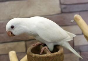 Hand raised super friendly WHITE (ALBINO) Quaker parrot baby