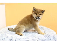 Beautiful Shiba Inu Puppies Now Available
