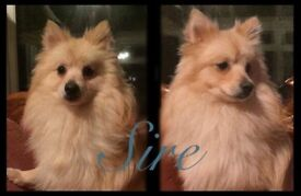 Stunning mini Pomeranian puppies Reds and creams