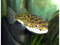 Figure 8 puffer fish tropical fish