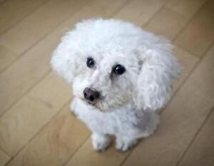 "Senior Female Dog - Poodle: ""Sasha #3 (White Toy)"""
