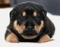 "Baby Male Dog - German Shepherd Dog: ""Pepper"""