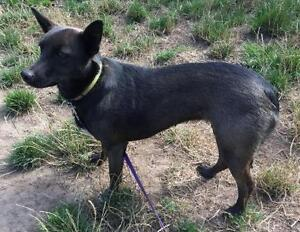 """Adult Female Dog - Terrier-Chihuahua: """"Scout"""""""