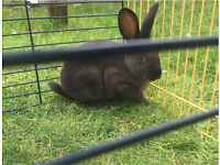 Rex rabbit for sale baby rabbits £10