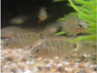Fish tropical Jade eye cichlids PLEASE CONFIRM ORDERS NOW