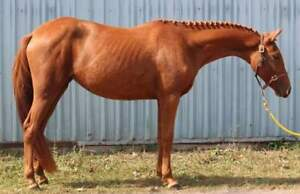 Large British Riding Pony Welsh x for sale