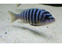 F1 Metraclima sp Chilumba Maisoni Reef African Cichlid Malawi
