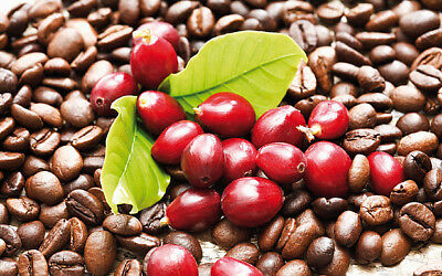 20x Arabica Coffee Bean Seeds Rare Tropical Bonsai Trees Rich Aroma Shrub Arabia