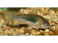 Corydoras catfish for fish tank