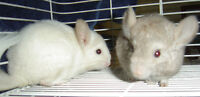 CHINCHILLA BABIES FOR SALE.