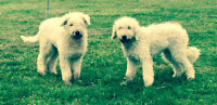 Komondor puppies for sale