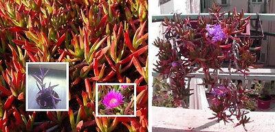 Aloe-Blätter & Minze-Duft : Obst - Hottentottenfeige Carpobrotus edulis * Samen