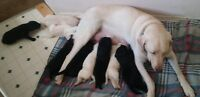 Black Labrador Retrievor Pups for Sale